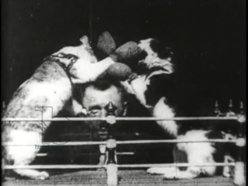Boxing cats - early Edison film, 1894