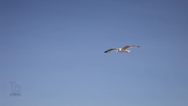 Seagull flying over Pasman Island, Croatia