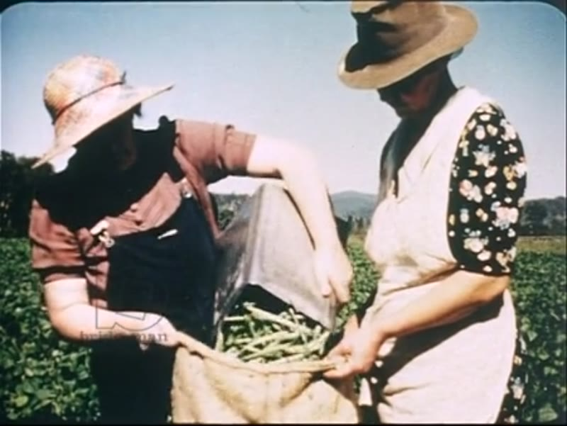 Ploughing with horses in the heat, members of the WASPS pick vegetables. Australian war effort 1942.
