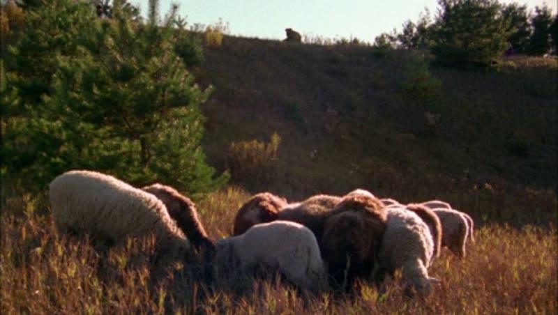 Static shot of sheep grazing in a field