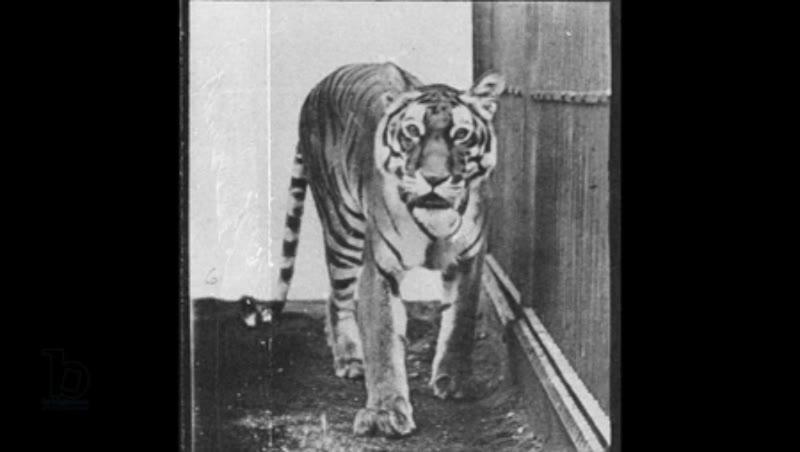 Animation of 'Tiger pacing', from 'Animal Locomotion', 1887 Eadweard Muybridge