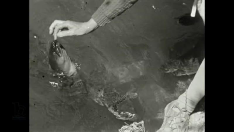 Tame Eel feeding, New Zealand, 1940s