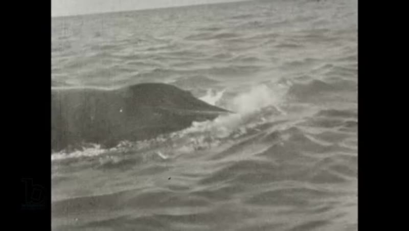 New Zealand Whaling - the Perano family whaling operation 1930 part 5