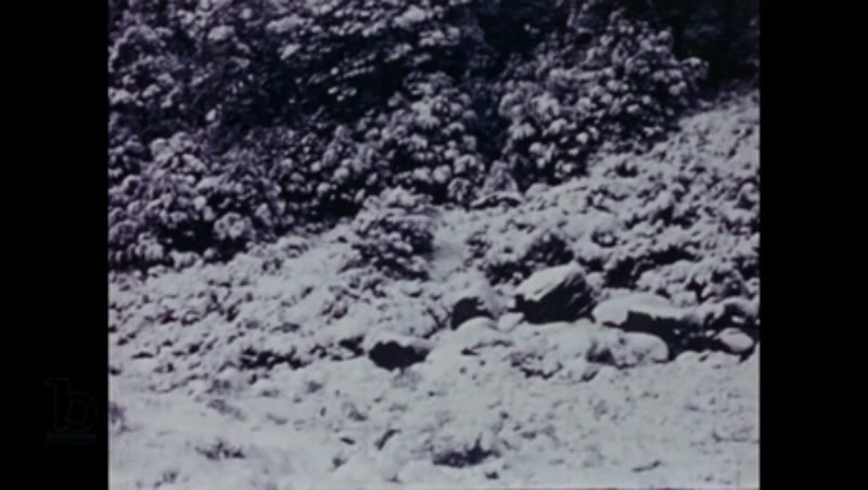 Winter for the takahē bird in New Zealand's Murchison Mountains, 1949 part 5