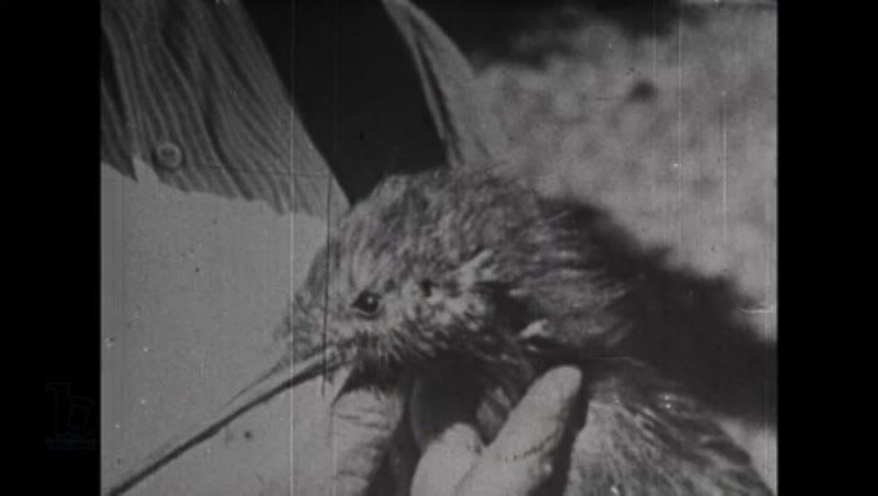 1950s NZ wildlife documentary part 2, the kiwi