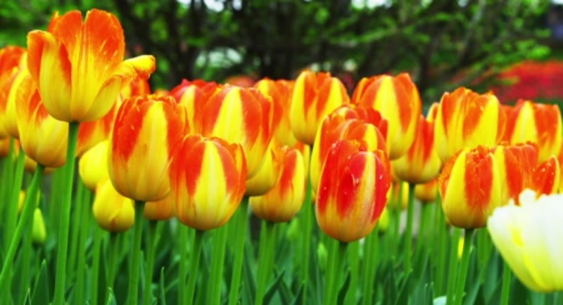 Tulips swaying in the wind