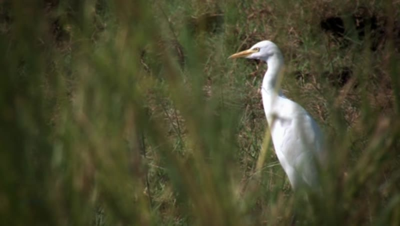 Ibis in the fields by the River Nile 4