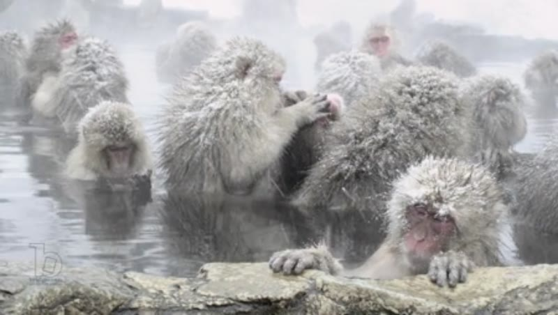 The Japanese Macaque (Snow) Monkeys enjoying a bath in the Onsen of Jigokudani Yaenkoen , Nagano Prefecture 1/8