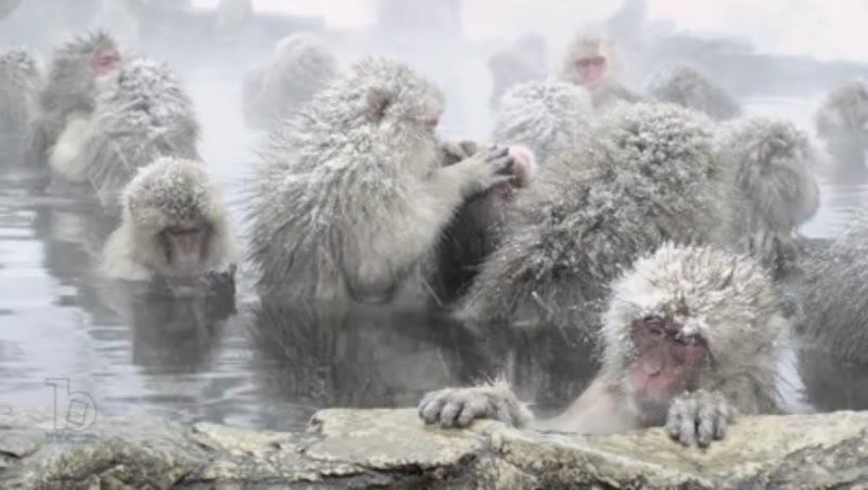 The Japanese Macaque (Snow) Monkeys enjoying a bath in the Onsen of Jigokudani Yaenkoen , Nagano Prefecture 1/8