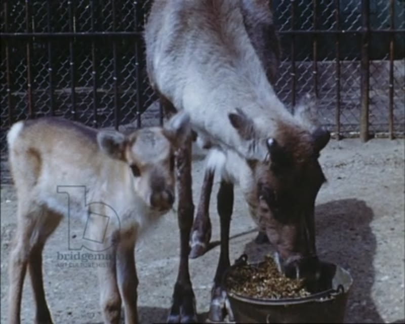 London Zoo c.1950 - ibex and baby feeding