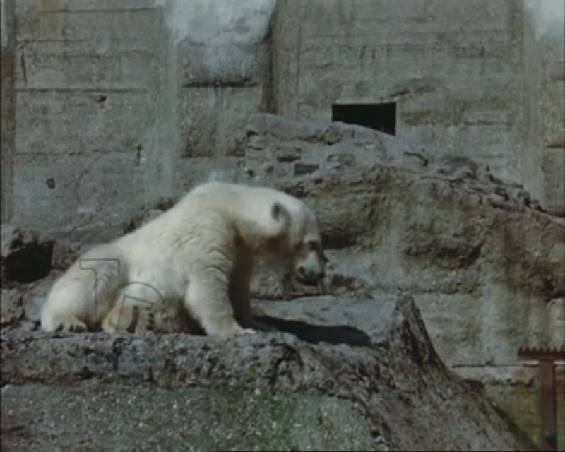 London Zoo c.1950 - Brumas the famous polar bear